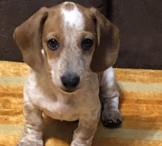 dachshund puppy to adopt