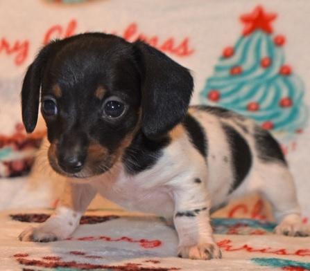 Miniature dachshund puppy for adoption