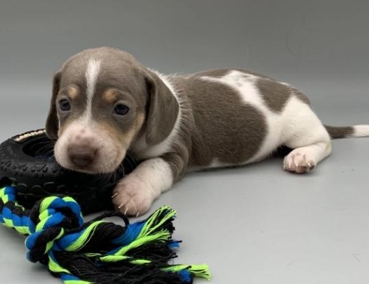 newborn dachshund Puppies