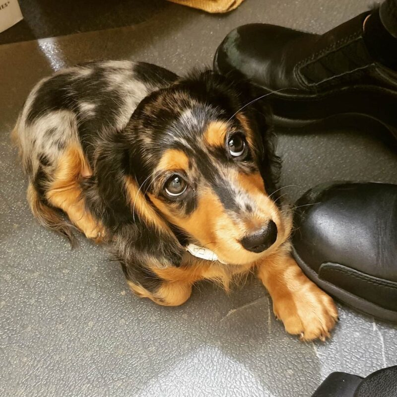 mini long haired dachshund puppies