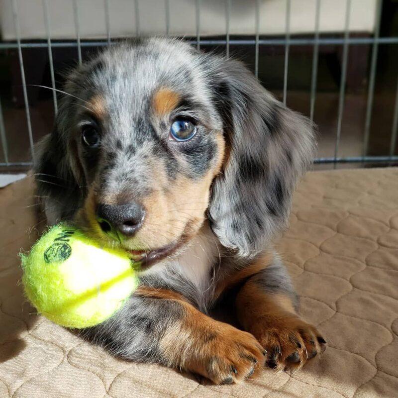 mini weiner puppies for sale