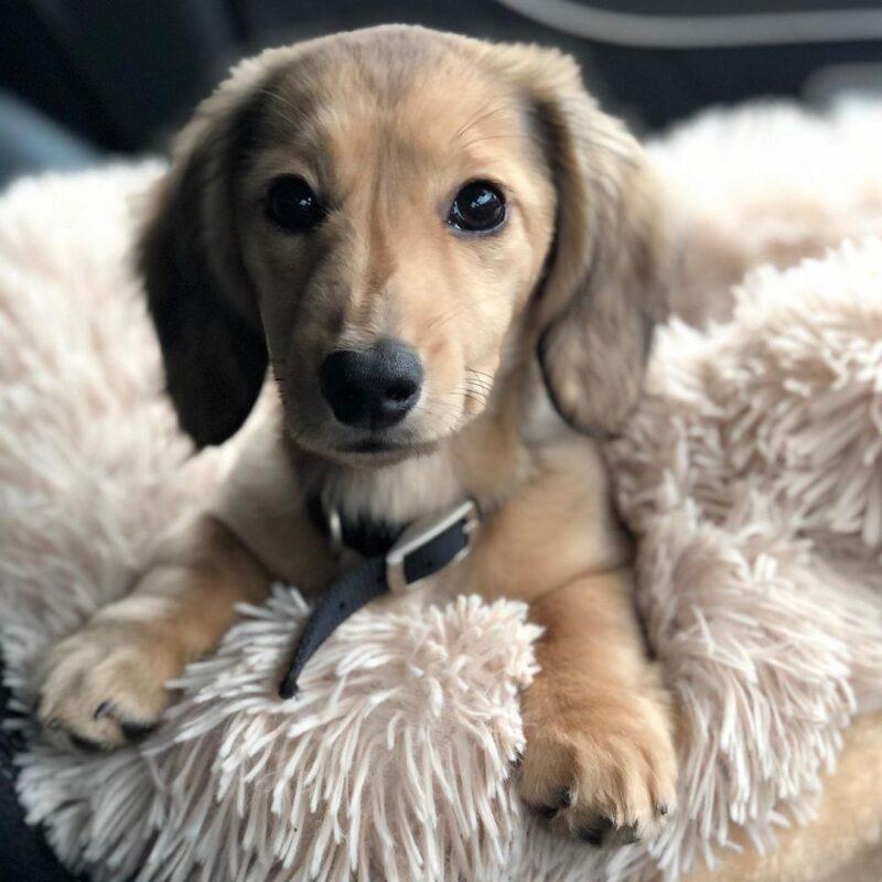 cream miniature dachshund puppies for sale